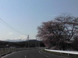 栗駒桜さく