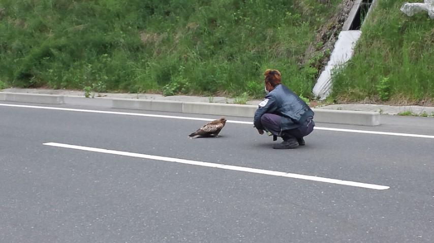 野生の鳶を保護