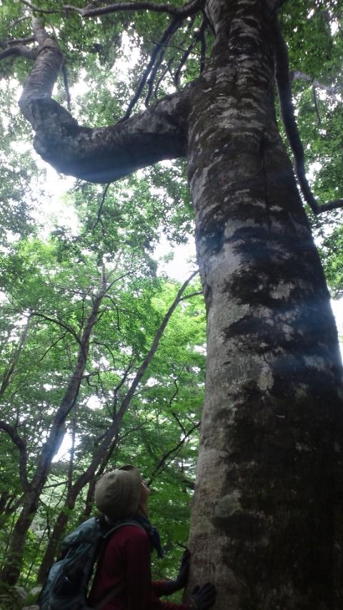 くりこま高原のブナの森